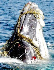 whales-humpback-surfaced-fishing-nets-trapped